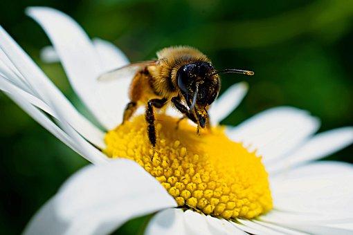 Bee, Bumble Bee, Insect, Bumblebee, Honey, Flower