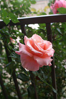 Rose, Pink, By Fence, Blossom, Flower