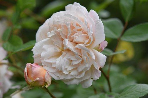 Pink, Rosebush, Shrub, Communication, Symbol Love