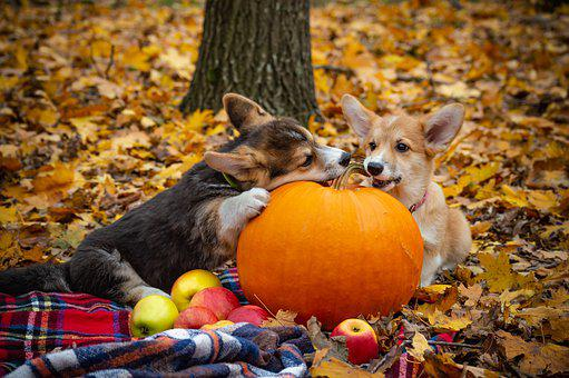 Welsh Corgi Pembroke, Corgi, Dog, Puppy, Pet, Animal