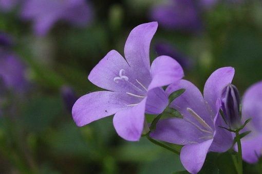 Bellflower, Herbaceous, Perennial, Creepy, Plants
