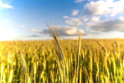 Summer, Wheat, Fields, Field, Agriculture, Harvest