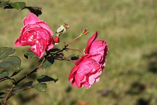 Rose, Roses, Flower, Nature, Pink, Red, Garden, Petals