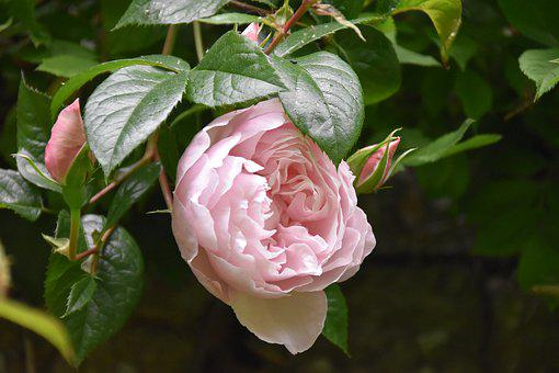 Flowers, Pink, Old Rose, Rosebush, Flower, Rose Bud