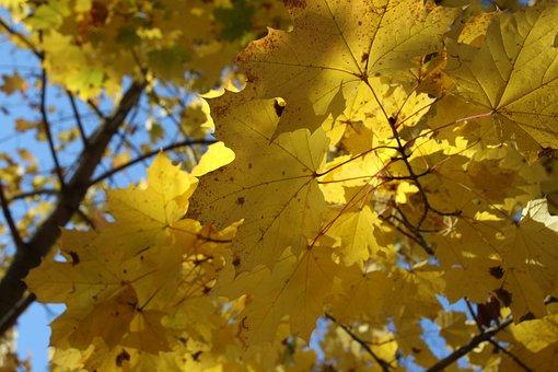 Maple, Autumn, Leaves, Sheet, Nature, Foliage, Season