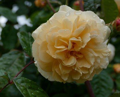 Rose Buff Beauty, Garden, Nature, Flower, Blossom