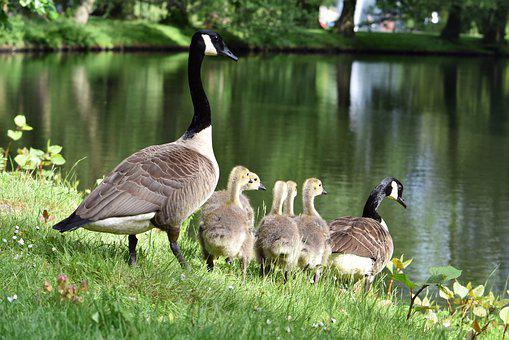 Geese, Goose Family, Goslings, Chicks, Young