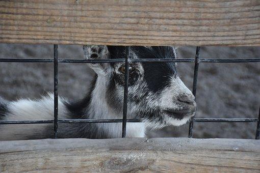 Goat, Baby, Animal, Farm, Cute, Nature, Mammal, Kid