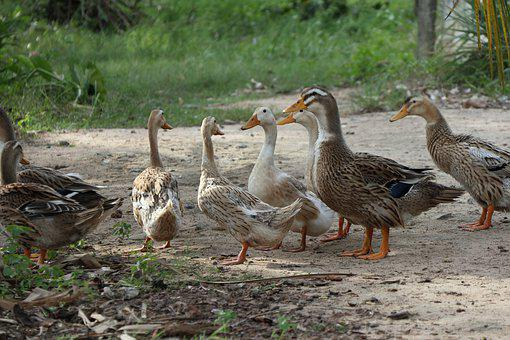 Flock Of Ducks, Looking At The Lake, Water, Nature