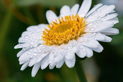 Marguerite, Drip, Raindrop, Drop Of Water, Wet, Blossom