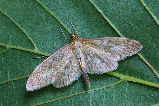 Long-winged Pearl, Moth, Pyralid, Insect, Lepidoptera