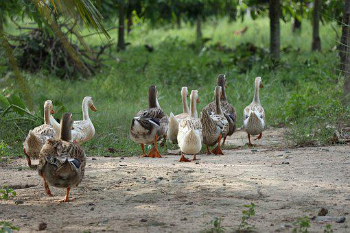 Flock Of Ducks, Following, Leading, Nature, Natural