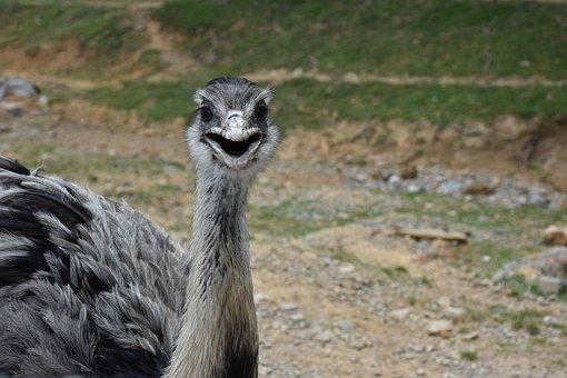 Ostrich, Animal, Bird, Nature, Head, Portrait, Feather