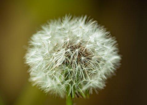 Dandelion, Plant, Seeds, Nature, Close Up