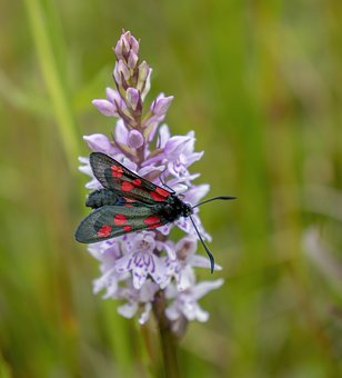 Burnet, Moth, Insect, Nature, Summer, Flower, Red