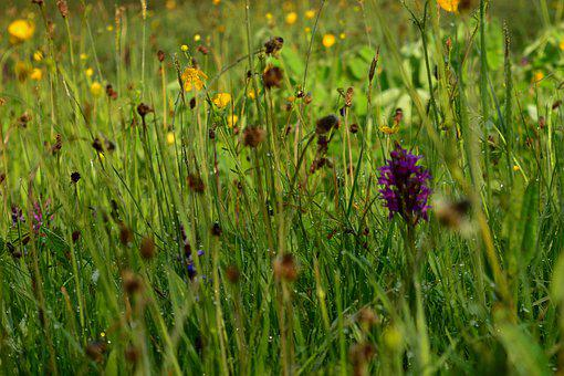 Orchid Meadow, Spring, Blossom, Bloom, Nature, Grass