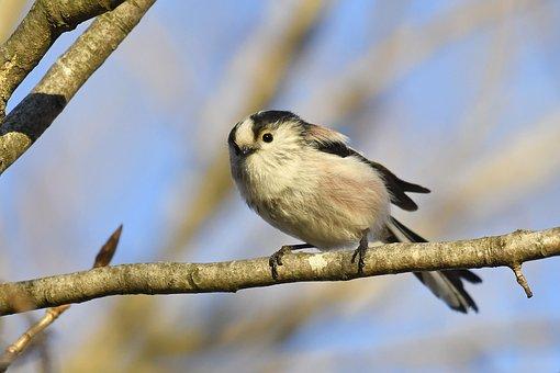 Tit, Long, Tail, Nature, Bird, Spring, Wild, Plumage