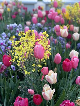 Spring, Flowers, Tulips, Color, Beautiful, Nature