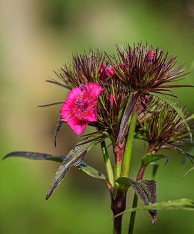 Sweet William, Blossom, Bloom, Plant, Flower, Nature