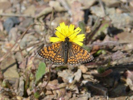 Butterfly, Orange Butterfly, Marsh Fritillary, Flower