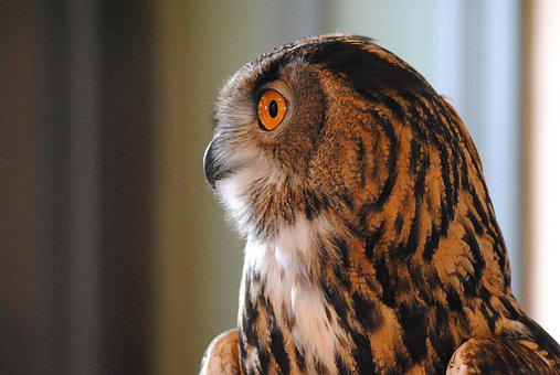 Owl, Bird, Raptor, Profile, Head, Beak, Feathers