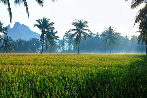 Green, Field, Paddy Field, Paddy, Morning, Karnataka