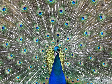 Peacock, Wheel, Color, Colorful, Plumage, Pen