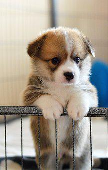 Welsh Corgi Pembroke, Sight, Corgi, Dog, Puppy, Pet