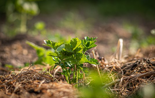 Crop, Celery, Field, Agriculture, Nature, Plant
