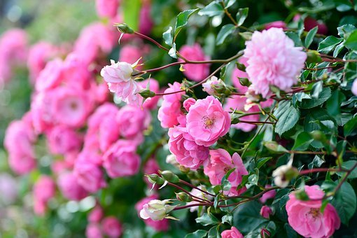 Plant, Landscape, In The Early Summer, Rose, Garden