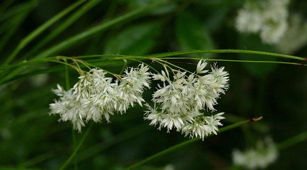 Luzula Nivea, Grass, Garden, Plant, Spring, Environment