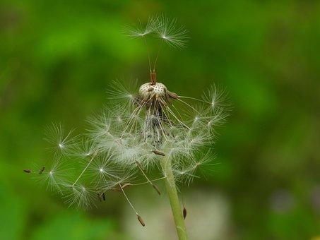Dandelion, Sonchus Oleraceus, Plant, Nuns, Meadow