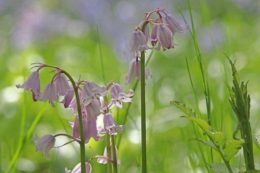 Bellflower, Flower Meadow, Spring, Pointed Flower