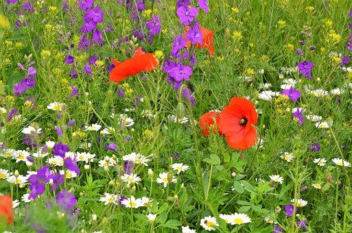 Wildflower, Meadow, Nature, Poppy, Crow's-feet, Daisy