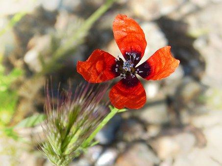 Papaver Hybridum, Poppy, Sad Poppy, Flower, Wild Flower