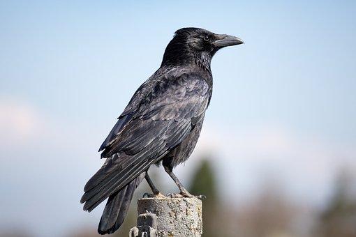 Crow, Raven, Bird, Black, Raven Bird, Rook, Sitting