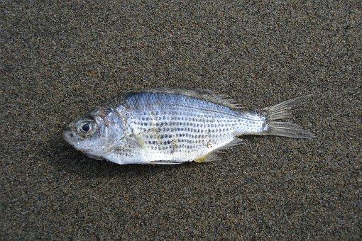 Fish, Sand, Beach, Ocean Pollution, Dead, Sea, Water