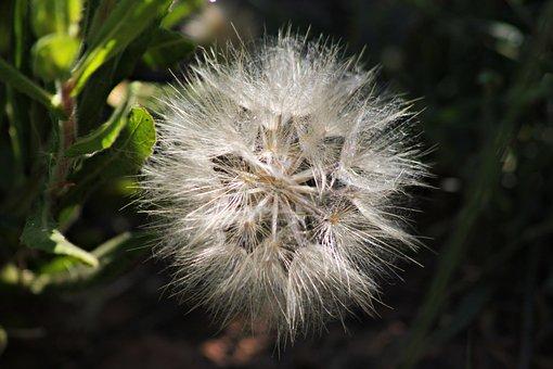Dandelion, Nature, Plant, Seeds, Wind, Field, Landscape