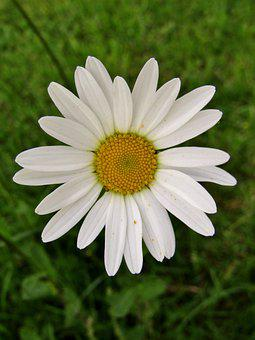Marguerite, Single Flower, Daisies, White