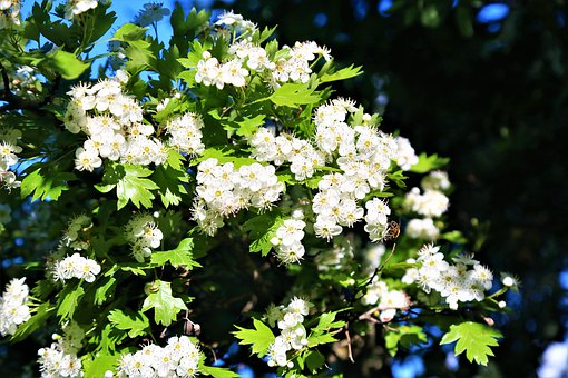 Flowers, Spring, White, Nature, Beautiful, Tree, Branch