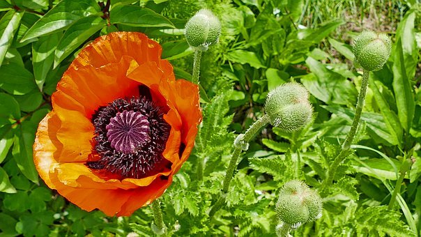 Nature, Garden, Flower, Poppy, Bud, Light, Sun, Green