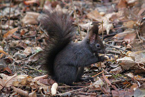 The Squirrel, Black, Rodent, Standing, Tail, Food