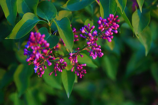 Flower, Bud, Nature, Plant, Purple, The Leaves Are
