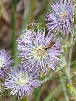Thistle Flower, Insect, Libar, Weevil, Beetle, Detail