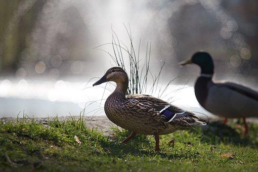 Duck, Pond, Lake, Meadow, Waterfowl, Nature, Mallard