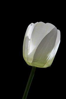Tulip, Art Flower, White, Decoration