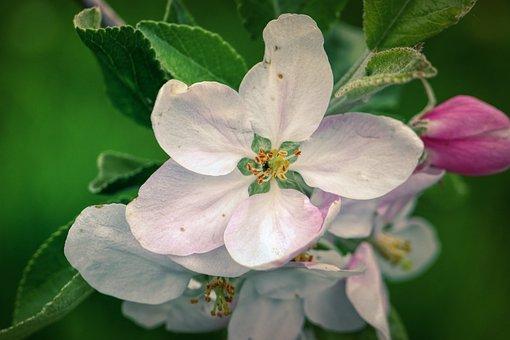 Apple Blossom, Blossom, Bloom, White, Spring, Plant