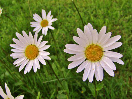 Marguerite, Single Flowers, Daisies, White