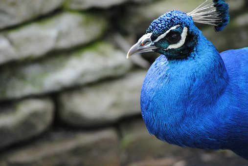 Peacock, Bird, Blue, Wild, Elegant, Exotic, Feather