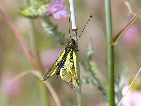Insect, Yellow, Libelloides Cunii, Winged Insect